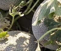 El melón y sus variedades