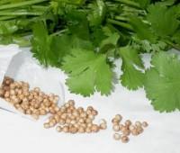 ¿Para qué sirve el cilantro? ¿Es especia o hierba?